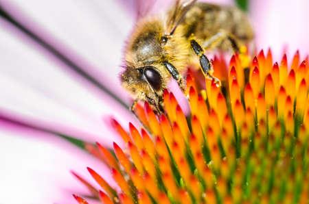 bee on echinacea purpurea/bee pollinates summer echinacea purpurea
