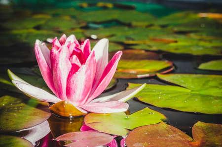 fiore rosa di una ninfea. Bella scena della natura con fiore rosa in fiore di una ninfea nel bagliore del sole.