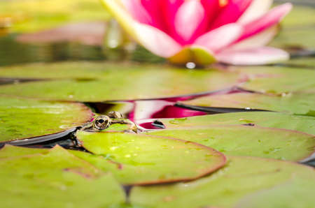 Frog and lily flower. A pond with a frog and a flower of a lily. Beautiful nature Stock Photo