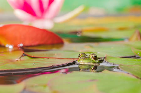 Frog. The frog looks out of water in a pond near a lily flower. Beautiful nature Stock Photo