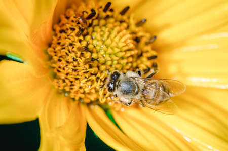 Honeybee pollinates a yellow flower/ Closeup. Pollinations of concept.