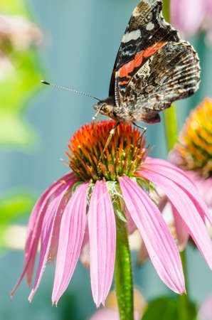 butterfly sit on a beautiful pink flower/beautiful bright motley butterfly sits on a flower. Beautiful wildlife background