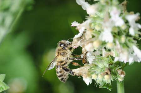 bee pollinates a flower/bee pollinates a flower, Pollinations of concept. Banco de Imagens
