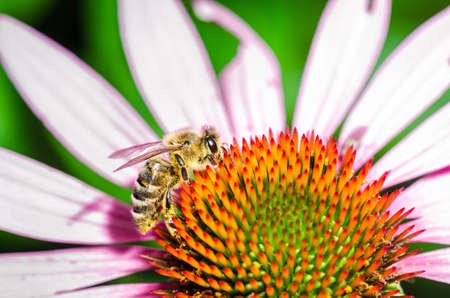 single bee on a flower/bee pollinates summer echinacea purpurea