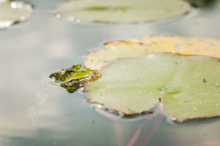 Frog. A frog in water near water lily leaves. Frog in the nature