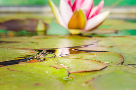 Frog. The frog looks out of water in a pond near a lily flower. Wildlife concept