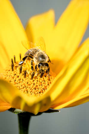 Honeybee pollinates a yellow flower of heliopsis. Closeup. Pollinations of concept.