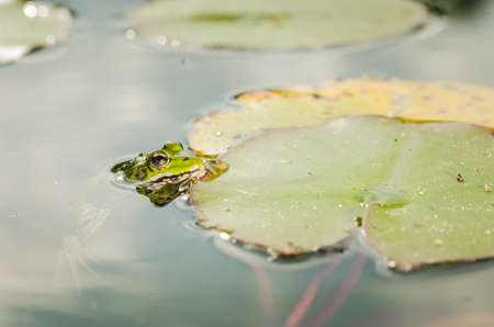 A frog in water near water lily leaves. Stock Photo