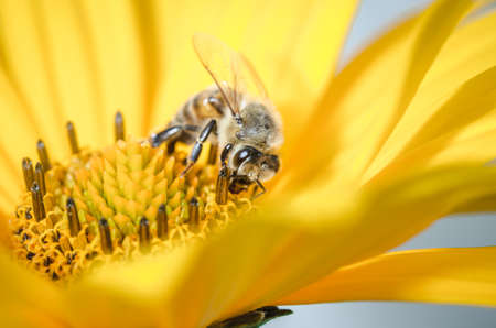 bee pollinates a yellow flower/bee pollinates a yellow flower, Pollinations of concept. Banco de Imagens