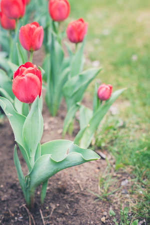 field flowers tulip. Beautiful nature scene with blooming red tulip in sun flarerow red tulips. Spring flowers. Beautiful meadow. Spring background 写真素材