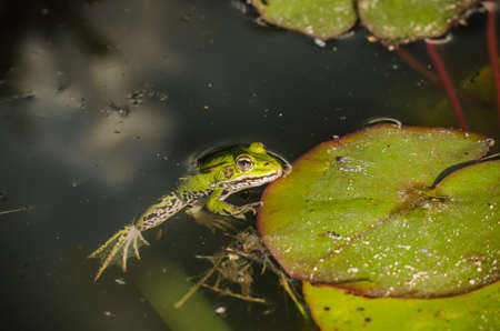Frog. A frog in water near water lily leaves. Frog in the conditions of the nature Stock Photo