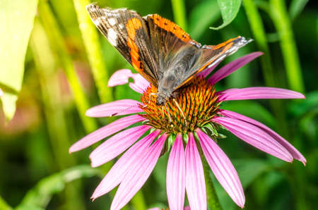 Butterfly pollinates on flower/beautiful butterfly pollinates on a bright echinacea flower