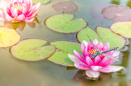 Geen dragonfly sitting on a pink lotus flower/green dragonfly sitting on a pink water lily lotus flower.