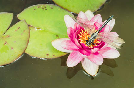 green dragonfly sitting on a pink lotus flower/green dragonfly sitting on a pink water lily lotus flower. Top view. Foto de archivo - 147482742
