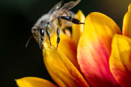 Honey bee on flower petals, close up/Honey bee on yellow with red flower petals. Close up. Foto de archivo