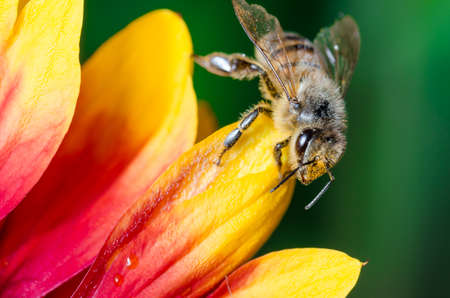 Honeybee collecting pollen on a colourful flower/Bee crawls over the stickers of a multicolored flower. Green background.