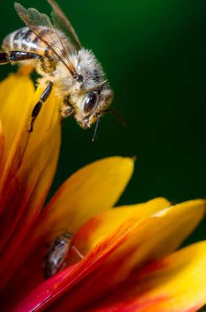 Honey bee on flower petals/Honey bee on flower petals. Close up.