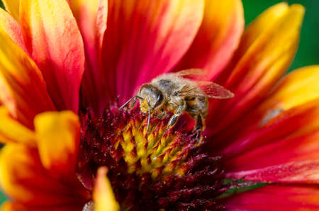 bee pollinates a colorful flower / Bee takes pollen from a colorful flower, close up Foto de archivo