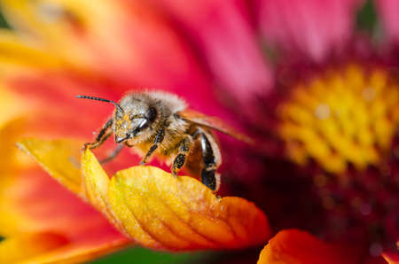 Bee takes pollen from a colorful flower / Bee takes pollen from a colorful flower close up. Pollinations of concept Foto de archivo - 147424107