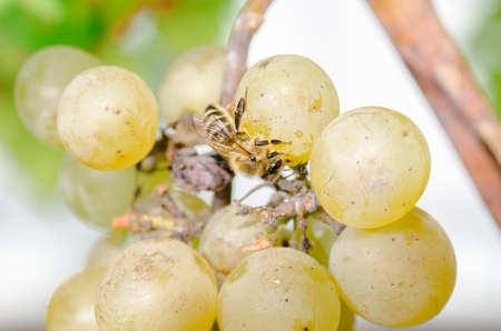 Bees devour ripe sweet grapes in the garden outdoor. Insects destroy berries Standard-Bild