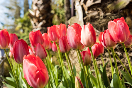 tulips red beautiful Banque d'images