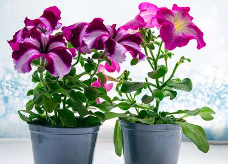 Petunia, Petunia in a pot, pink flower on the table, colorful petunia. Seedlings. Selective focus. Standard-Bild