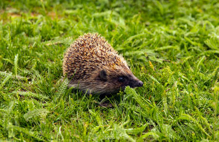 Hedgehog, wild animal with a cute nose close-up. Little hedgehog in the green grass. Macro spikes and needles, ear, eye adorable hedgehog in the grass. Wildlife concept