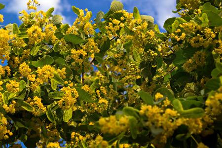 linden blossom: Linden flowers against the sky