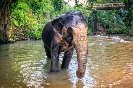 elephant crosses the river among the rainforest