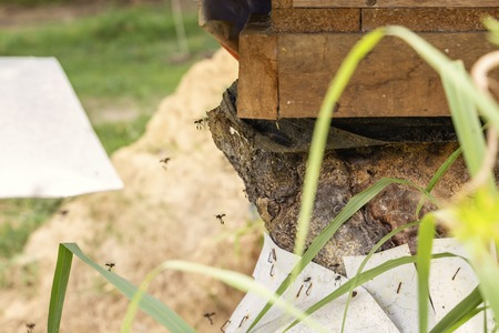 Black bee-carpenters (genus xylocopa) fly into a beehive tray from an old tree stump on a bee farm - an apiary on a sunny day. Close-up