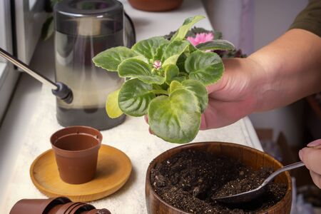 Female hands are planted babies violets (Saintpaulias) in a flower pot. Close-up