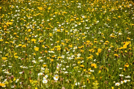 buttercups: field of buttercups and daisies