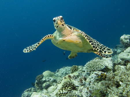 Sea turtle wants to get acquainted. Life and beauty of the underwater world.