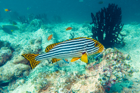 Striped fish at coral reef