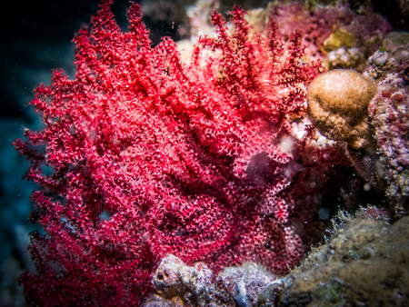 Red coral polyp. Coral close up 写真素材