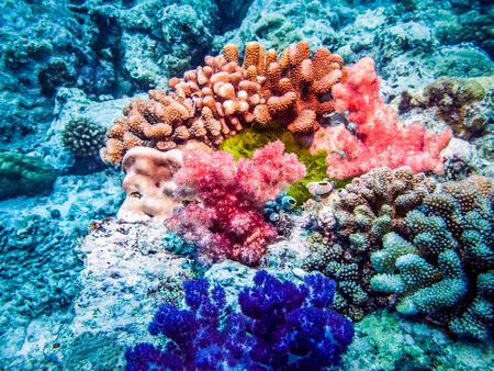 Multicolored corals at