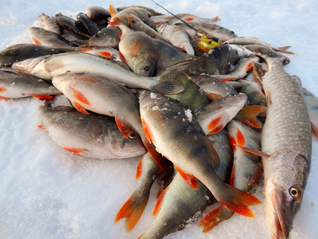 Frozen fish on the snow