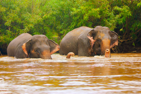 Elephants in yellow water