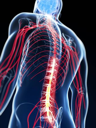 3d rendered illustration of the spinal cord Archivio Fotografico