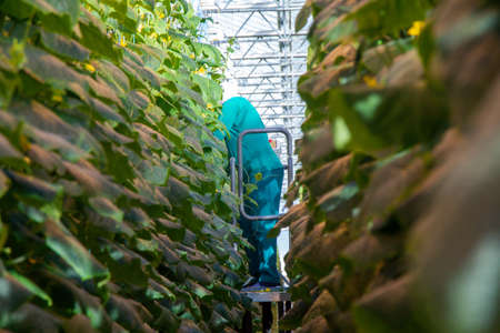 Farmer in a mask harvesting cucumbers in a greenhouse on a hydroponic system with drip irrigation