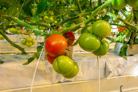 Tomatoes in a greenhouse on a hydroponic system with drip irrigation