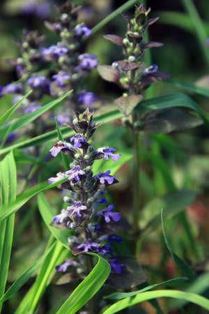 a stem here: Blue jr purple field flowers in the grass closeup
