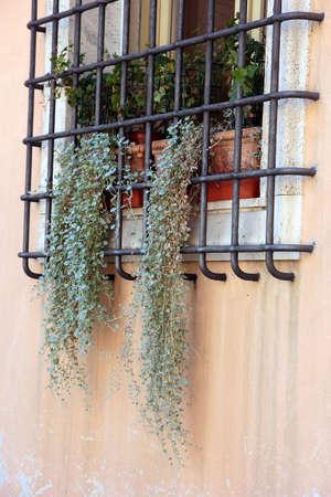 rejas de hierro: secas plantas colgantes verdes en la ventana que cuelgan hacia fuera a trav�s de las barras de hierro en la ventana, R�vena, Italia