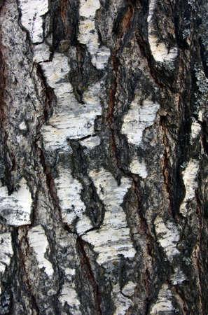 bumpy: rough bumpy black and white birch bark of birch tree foreground closeup