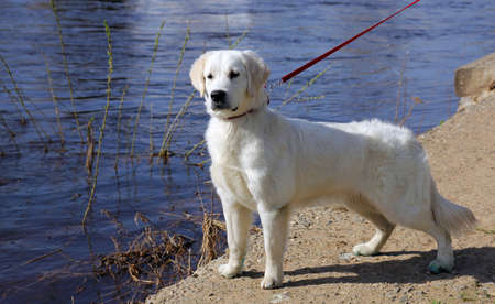riverfront: white dog golden retriever with black nose on a leash stares at something on the riverfront