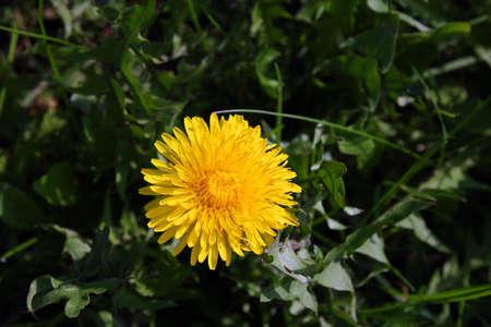 tenacious: beautiful wild yellow bud flower dandelions with petals on green grass closeup