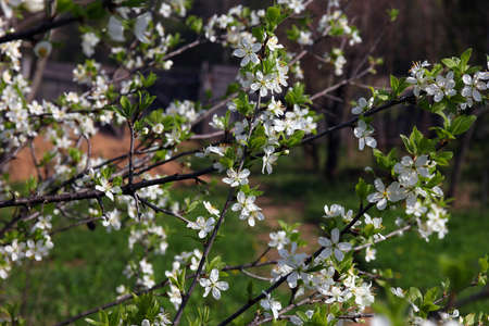 many branches: branches of beautiful blossoming plum tree with many small pretty white flowers and green leaves in spring