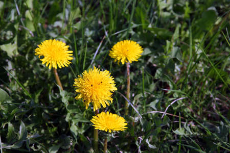 undemanding: a few beautiful wild yellow flowers dandelions on green grass closeup Stock Photo