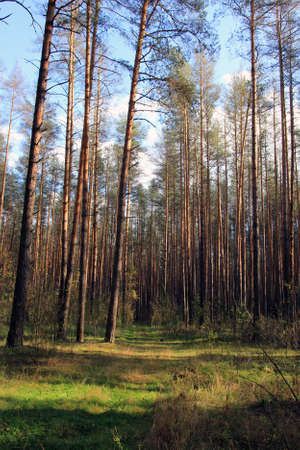 hight: hight green direct forest pine trees stand on edge of pine forest in summer on sunny day