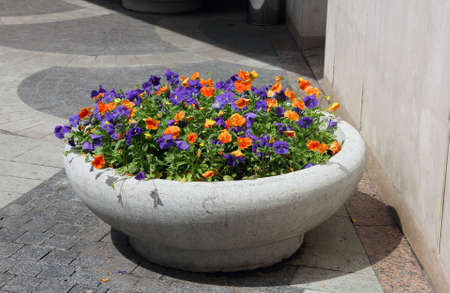 violets: grey concrete flower bed of beautiful orange and purple violets on the street of Moscow, Russia